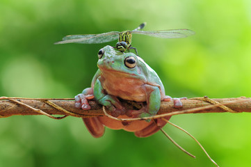 dumpy frog with dragonfly