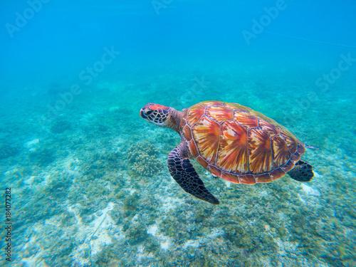Valokuva  Wild sea turtle in blue ocean closeup. Green sea turtle closeup.