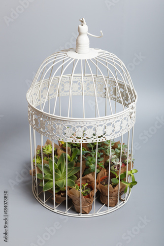 Fotografia  White birdcage decoration with succulent plants isolated on grey background