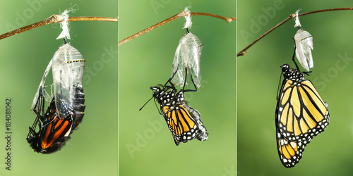 Fotografie, Obraz  Monarch Butterfly (Danaus plexippus) drying its wings  after emerging from its c