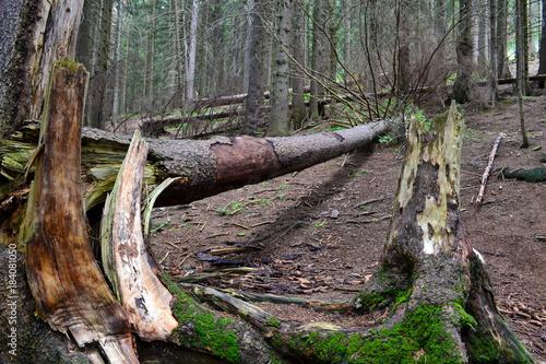 Obraz połamane drzewa w lesie sosnowym - fototapety do salonu