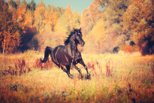 Black Arabian Horse Runs On The Trees And Sky Background In Autumn