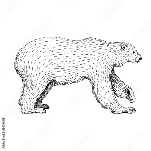 Sketch Line Art Drawing Of Polar Bear Black And White