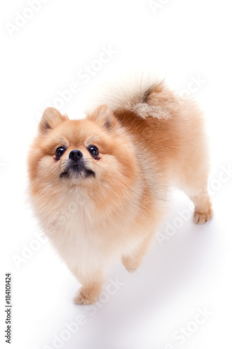 Lovely pomeranian spitz puppy  Fluffy orange pomeranian dog
