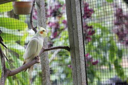Valokuvatapetti white Cockatiels bird stand  in a cage