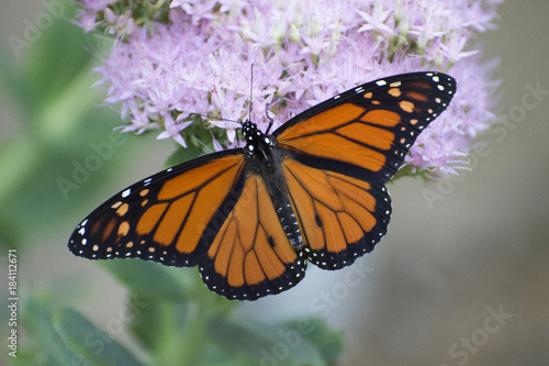 Butterfly 2017-129 / Monarch on flowers Canvas Print