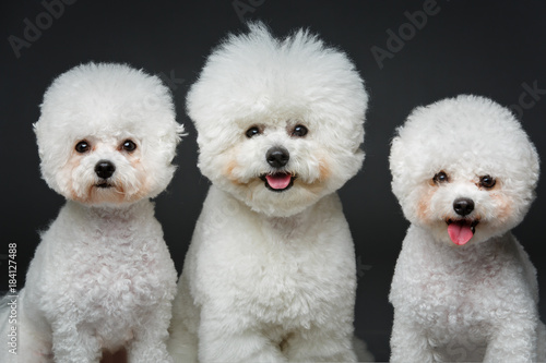 Canvas Print beautiful bichon frisee dogs
