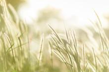 Field Of Grass In Soft Focus
