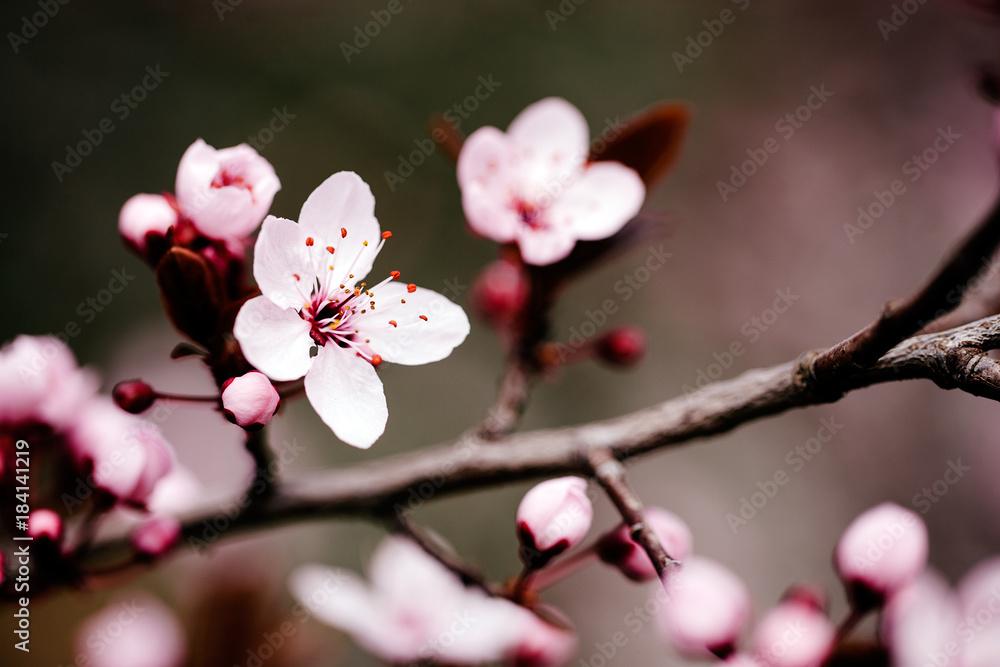 Fototapeta Beautiful cherry blossom in april at spring