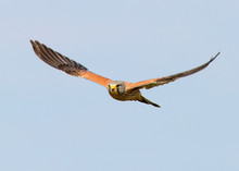 Common Kestrel In Flight Against Blurred Blue Sky Close Up Photo.