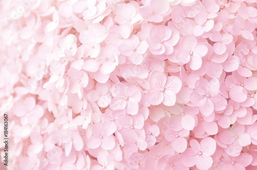 Montage in der Fensternische Hortensie Summer blossoming hydrangea, flower bokeh background, pastel and soft floral card