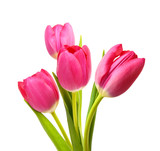 Fototapeta Tulipany - Flower Tulips as Symbol of Romance and Love