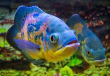 Astronotus Ocellatus. Oscar Fish (Astronotus Ocellatus) Swimming Underwater