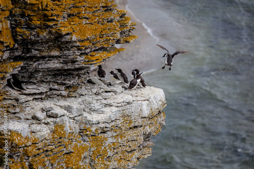 Fotografía  Guillemots in their harsh environment at the island of Stora Karlsö in Sweden