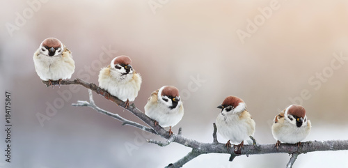 Photo  five funny little birds sparrows sitting on a branch in winter garden, hunched