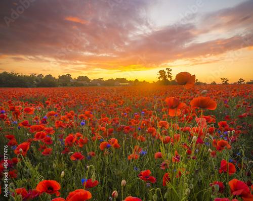 Fotobehang Poppy poppy meadow, sunset over red poppies