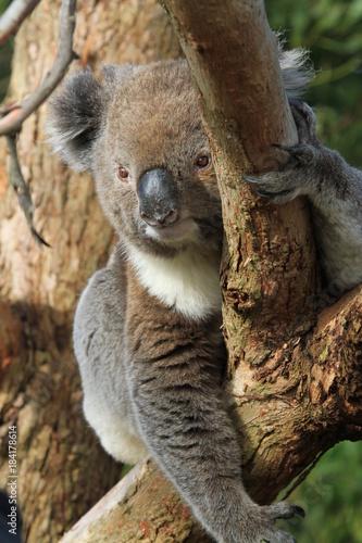 Staande foto Koala Koala hanging around in tree