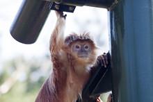 Javanese Langur Monkey Sitting In The Shadow
