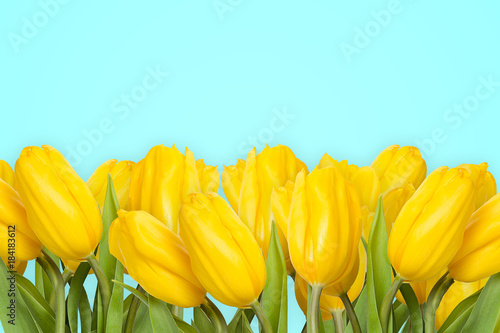 Foto op Canvas Bloemen Many yellow tulips isolated on turquoise background