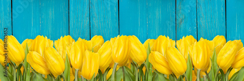 Many yellow tulips on blue wooden background, border design panoramic banner