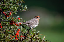 Young Male House Finch Bird Pe...