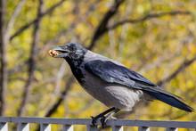 A Black Bird Of Crows Eating N...