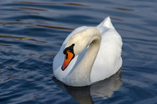 A Beautiful White Swan With Dr...