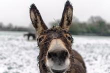 Portrait Of A Curious Donkey I...