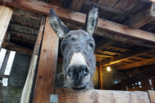 Christmas Donkey In Stable
