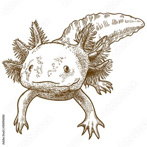 engraving  antique illustration of axolotl Canvas Print