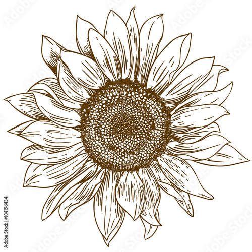 Foto engraving drawing illustration of big sunflower