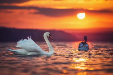 Fototapeta Ptaki Swans in the sea and beautiful sunset
