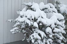 Snow-covered Trees Near The House Wall.