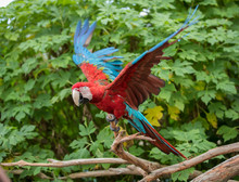 Mature Parrot Displaying Color...