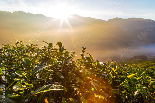 Sunrise morning in tea plantation field on mountain Wallpaper Mural