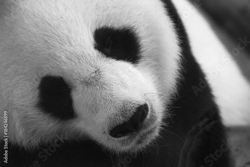 Photo sur Aluminium Panda panda