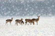 Deer In Winter Time