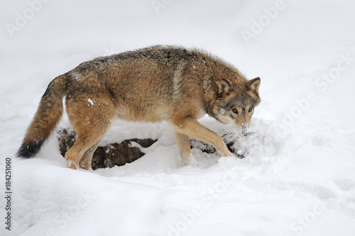 Tuinposter Eekhoorn Wild gray wolf in winter