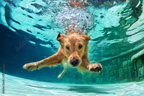 fototapeta na szkło Underwater funny photo of golden labrador retriever puppy in swimming pool play with fun - jumping, diving deep down. Actions, training games with family pets and popular dog breeds on summer vacation