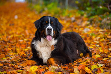 Bernese Mountaind Dog Pure Breed