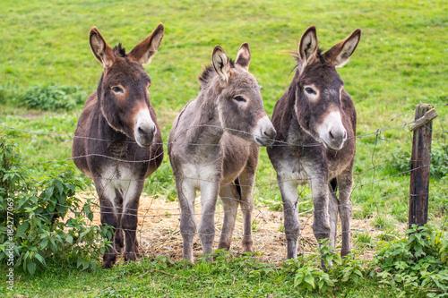 Foto auf Leinwand Esel Junge Esel