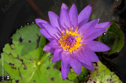 Foto op Canvas Lotusbloem Purple water lily in Chiang Mai Thailand