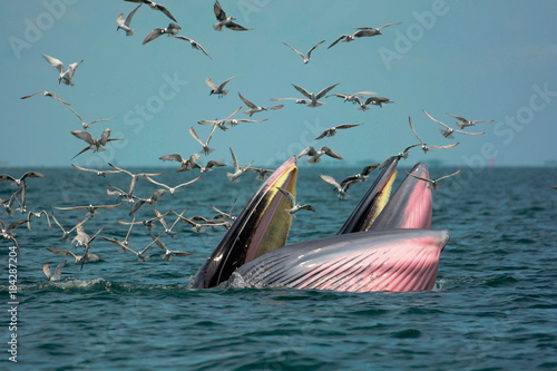 Two whale (Mother and son) opening their mouth to eat anchovy.