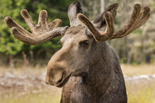 Closeup Of A Large Male Moose ...
