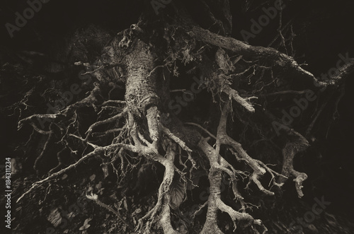 Tablou Canvas dark tree roots background