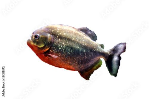 Obraz na plátně Predatory fish piranha