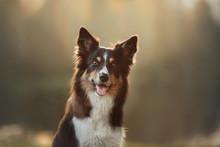 Dog Border Collie Closeup