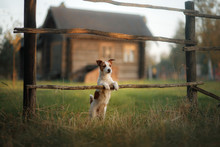 Dog Jack Russell Terrier In The Village