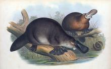 Illustration Of A Platypus