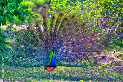 Fotografie, Obraz  Pfau mit prachtvollen gespreizten bunten Federn schlägt ein Rad für seine Pfauen